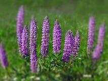 μπλε lupine Στοκ Φωτογραφία
