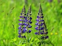 μπλε lupine Στοκ Φωτογραφίες