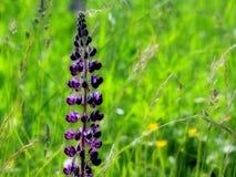 μπλε lupine Στοκ φωτογραφία με δικαίωμα ελεύθερης χρήσης