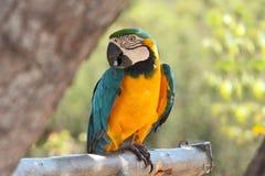 μπλε macaw κίτρινο (Ararauna Ara) Στοκ Εικόνες