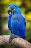 μπλε macaw Στοκ φωτογραφία με δικαίωμα ελεύθερης χρήσης