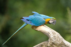 μπλε macaw ararauna ara κίτρινο Στοκ φωτογραφίες με δικαίωμα ελεύθερης χρήσης
