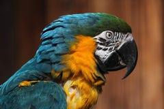 μπλε macaw ararauna ara κίτρινο Στοκ εικόνα με δικαίωμα ελεύθερης χρήσης