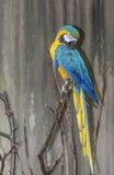 μπλε macaw ararauna ara κίτρινο Στοκ Φωτογραφίες