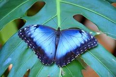 μπλε morpho πεταλούδων