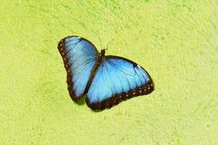 μπλε morpho πεταλούδων Στοκ εικόνες με δικαίωμα ελεύθερης χρήσης