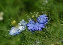 Μπλε Nigella Damascena Στοκ εικόνα με δικαίωμα ελεύθερης χρήσης