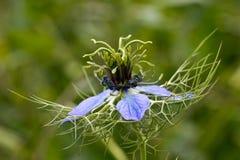 Μπλε Nigella Damascena Στοκ Εικόνα