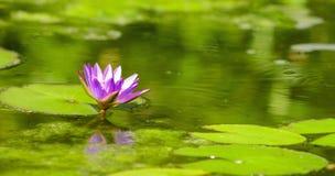Μπλε nouchali Nymphaea κρίνων νερού Lotus Στοκ Φωτογραφία