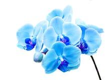 Μπλε Orchid λουλουδιών στοκ φωτογραφίες
