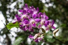μπλε orchid Στοκ Φωτογραφίες