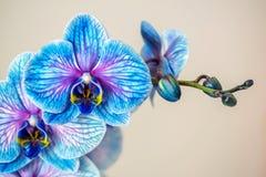 μπλε orchid Brunch της ορχιδέας με τα μπλε λουλούδια Στοκ Φωτογραφίες