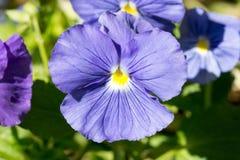 Μπλε Pansy ή ασιατική πεταλούδα Στοκ Φωτογραφίες