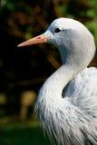 Μπλε paradiseus Anthropoides γερανών Στοκ εικόνα με δικαίωμα ελεύθερης χρήσης