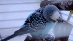 Μπλε parakeet απόθεμα βίντεο