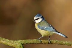 μπλε parus caeruleus tit Στοκ Φωτογραφίες