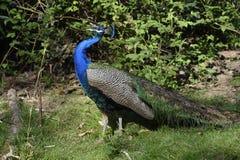 Μπλε Peacock με τη CREST Στοκ Εικόνες