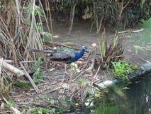 μπλε peacock Στοκ φωτογραφίες με δικαίωμα ελεύθερης χρήσης