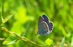Μπλε Plebejus πεταλούδων argyrognomon στο πράσινο φύλλο Στοκ φωτογραφίες με δικαίωμα ελεύθερης χρήσης