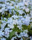 μπλε plumbago λουλουδιών Στοκ εικόνες με δικαίωμα ελεύθερης χρήσης