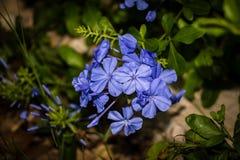 μπλε plumbago λουλουδιών Στοκ φωτογραφία με δικαίωμα ελεύθερης χρήσης