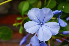 μπλε plumbago Στοκ φωτογραφία με δικαίωμα ελεύθερης χρήσης