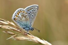 μπλε polyommatus του Ικάρου πετα&lam Στοκ Εικόνες