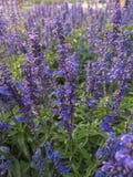 Μπλε salvia Στοκ φωτογραφία με δικαίωμα ελεύθερης χρήσης