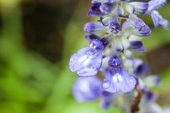 Μπλε salvia Στοκ Φωτογραφίες