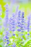 Μπλε Salvia, Mealy φασκομηλιά ή farinacea Benth ΚΑΠ Salvia Στοκ Φωτογραφίες