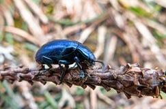 Μπλε scarab στο έδαφος Στοκ εικόνες με δικαίωμα ελεύθερης χρήσης
