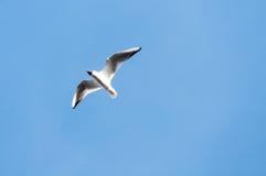 μπλε seagull ουρανός Στοκ Φωτογραφίες
