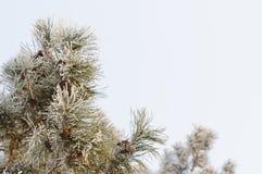 μπλε snowflakes ανασκόπησης άσπρος χειμώνας Παγωμένοι κλάδοι δέντρων στο ελαφρύ υπόβαθρο Στοκ Εικόνες