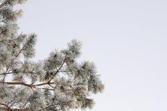 μπλε snowflakes ανασκόπησης άσπρος χειμώνας Παγωμένοι κλάδοι δέντρων στο ελαφρύ υπόβαθρο Στοκ εικόνες με δικαίωμα ελεύθερης χρήσης