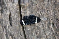 Μπλε speckled πεταλούδα Στοκ φωτογραφία με δικαίωμα ελεύθερης χρήσης