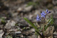 Μπλε squill στο ηλιόλουστο δάσος άνοιξη Στοκ Εικόνες