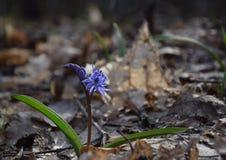 Μπλε squill στο ηλιόλουστο δάσος άνοιξη Στοκ Φωτογραφίες