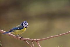 Μπλε Tit σε ένα δέντρο στοκ εικόνες με δικαίωμα ελεύθερης χρήσης