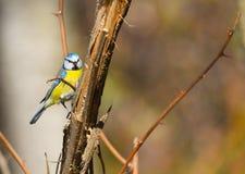 Μπλε tit στο φράκτη Στοκ εικόνες με δικαίωμα ελεύθερης χρήσης