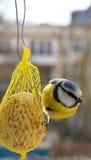 μπλε tit Στοκ φωτογραφίες με δικαίωμα ελεύθερης χρήσης