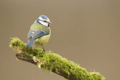 Μπλε Tit  (Caeruleus Cyanistes) σκαρφαλωμένος σε ένα κούτσουρο Στοκ Φωτογραφίες