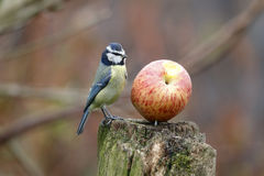 Μπλε tit, caeruleus Parus στοκ φωτογραφία