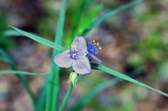 Μπλε Trillium στοκ εικόνα με δικαίωμα ελεύθερης χρήσης