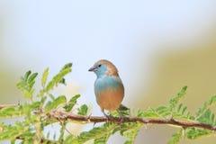Μπλε Waxbill - αφρικανικό άγριο υπόβαθρο πουλιών - που θέτει το μπλε Στοκ Φωτογραφία