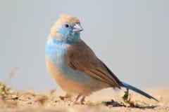Μπλε Waxbill - θαυμάσια μπλε ομορφιά από την Αφρική Στοκ Φωτογραφία
