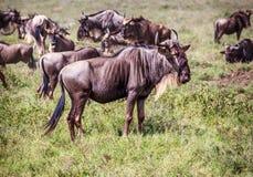 Μπλε Wildebeests Στοκ Φωτογραφία