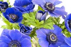 Μπλε windflowers στο άσπρο υπόβαθρο Στοκ εικόνες με δικαίωμα ελεύθερης χρήσης