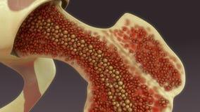 Μυελός των οστών απεικόνιση αποθεμάτων