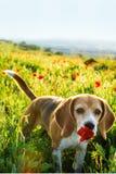 Μυρίζοντας λουλούδια λουλουδιών παπαρουνών σκυλιών λαγωνικών άγρια την άνοιξη Παπαρούνες μεταξύ της χλόης στο ηλιοβασίλεμα Στοκ Εικόνες