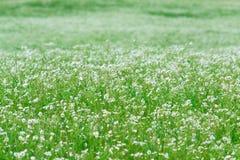 Μυριάδες των άσπρων μαργαριτών πράσινος λόφος Θερινή εποχή στοκ φωτογραφία